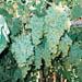 Саженцы виноградной лозы